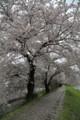 20150405 桜…金生川沿いにて