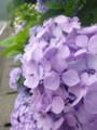 20150617 紫陽花