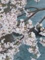 20160405 今年の櫻…