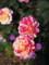 20160514 レオマワールド 世界のバラ展にて…