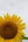 20160716 まんのう町 向日葵祭り