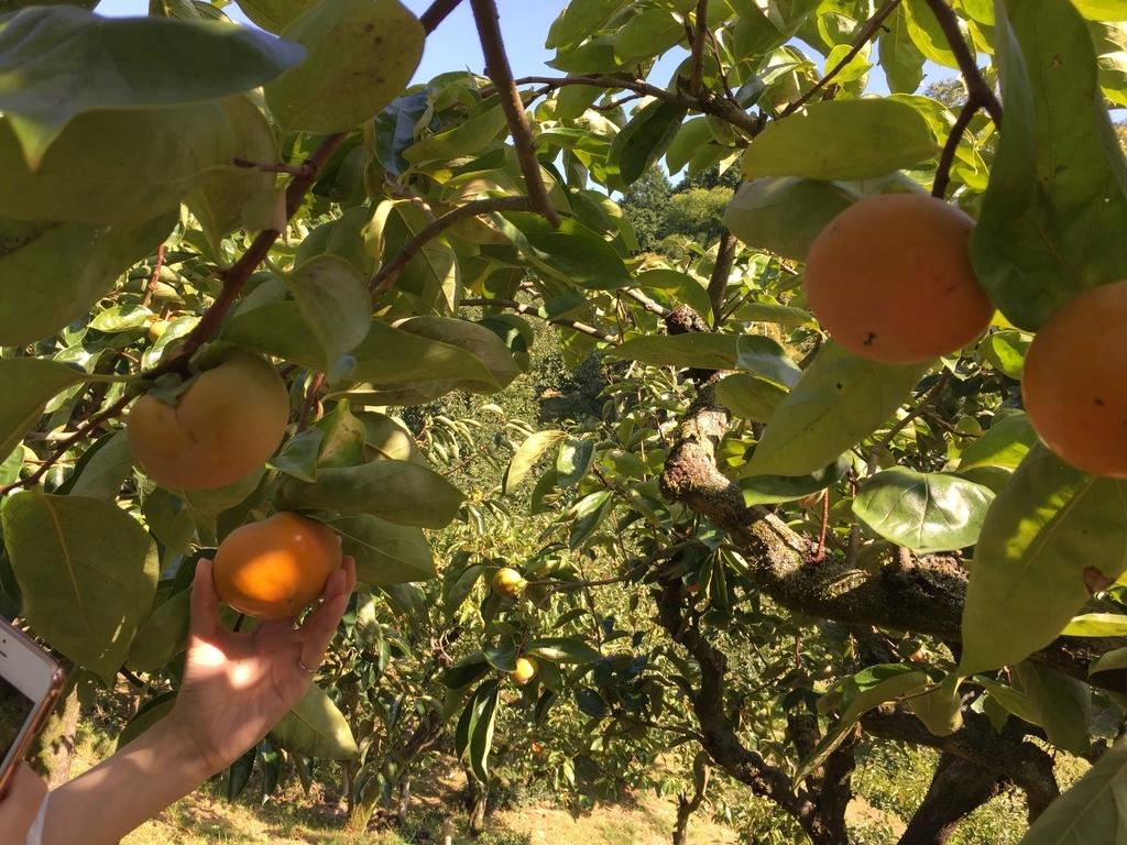 みどり農園の柿狩り