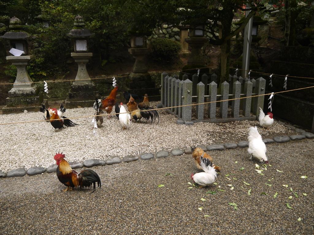 石上神宮の境内にいるニワトリ