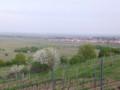 春のブドウ畑