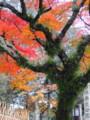 奈良公園入口古木の紅葉