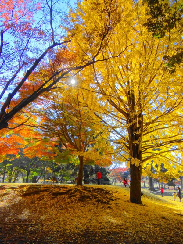 奈良公園飛火野イチョウ黄葉