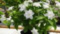 八重咲きエンレイ草