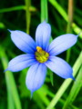 藍色庭石菖