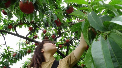 山梨県御坂町格安桃狩り食べ放題思い出人気直売所桃のお土産購入