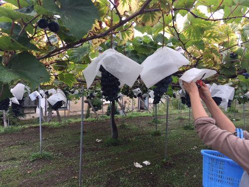 2018年勝沼ぶどう狩りお取り寄せオススメ無農薬サービスが良い観光農園試食ができる