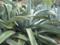 agave_americana-1