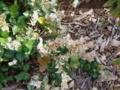 trachelospermum_asiaticum-1