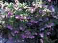 helleborus_orientalis-2
