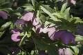 helleborus_orientalis-1