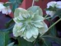 helleborus_orientalis-3