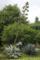 agave_americana