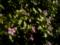 catharanthus_roseus-1