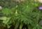 l_polyphyllum-leaves