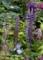l_polyphyllum