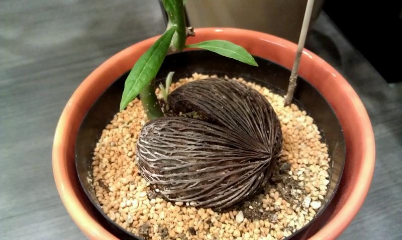 c.manghas-seed