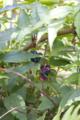 c.japonica_fruits