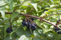 c.japonica_fruits-1