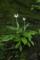 h.longiflora