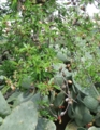 p.dulcis_fruits