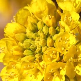 [菜の花]