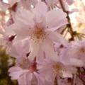 [しだれ桜]