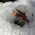 [初雪][芝桜]
