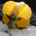 [パンジー][初雪]