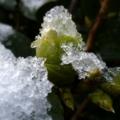 [ツバキ][初雪]