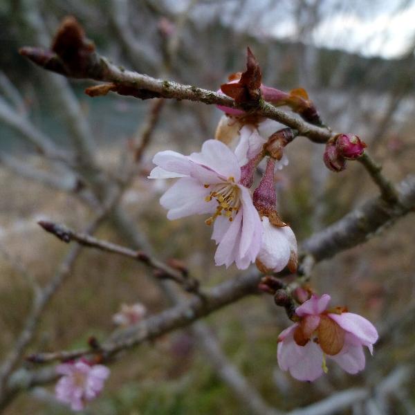 [四季桜][1月]