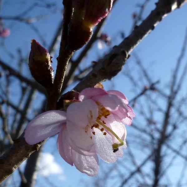 [四季桜][1月下旬]