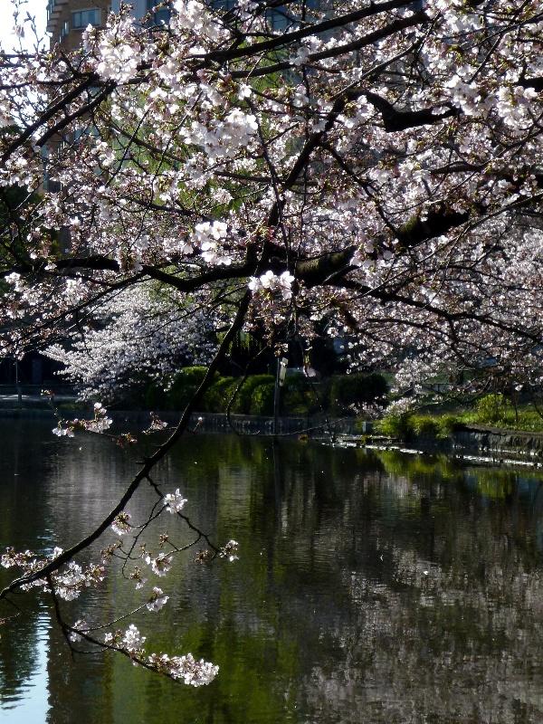 [桜][上野公園]
