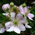 [ブラックベリー][花]