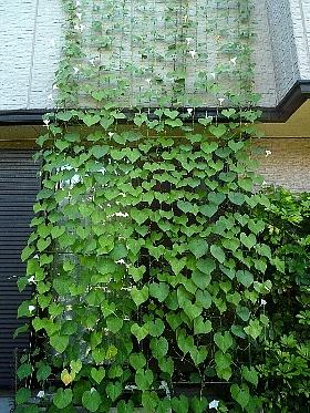 [緑のカーテン][西洋朝顔]