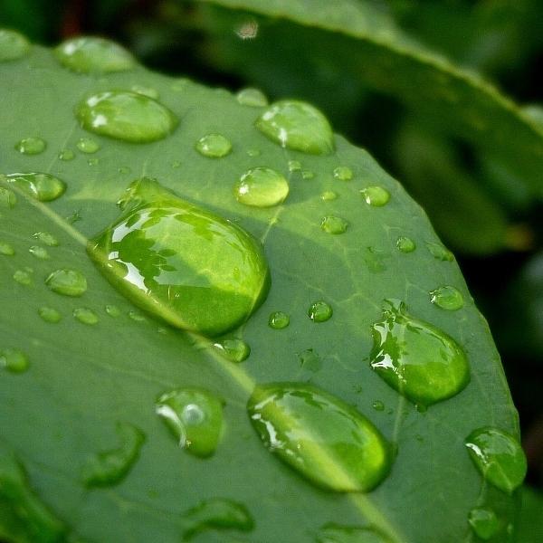 [椿の葉][水滴]