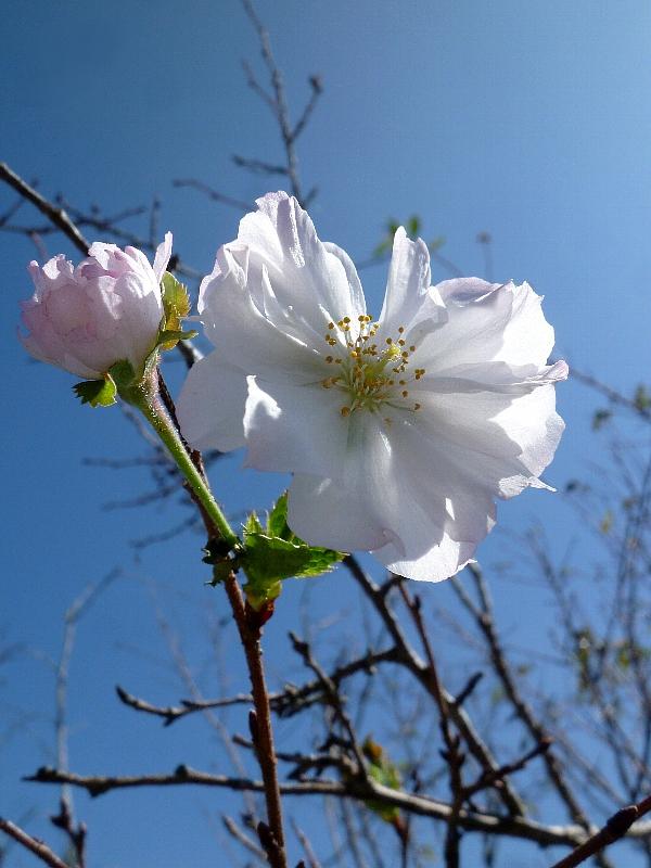[四季桜]