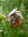 [ミツバチ][ローズマリー]