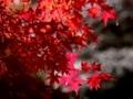 [四季桜][紅葉][川見四季桜の里]