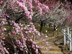 [赤塚山公園][梅]