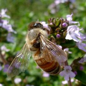 [タイム][ミツバチ?]
