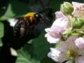 [ブラックベリー][クマバチ]