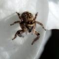 [蜘蛛][ハエトリグモ]