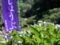 [花菖蒲][赤塚山公園][豊川]