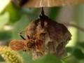 [アシナガバチ][セグロアシナガバチ]