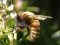 [ローズマリー][ミツバチ]