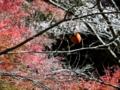 [川見四季桜の里][四季桜][紅葉]